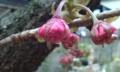 [花]ボタンザクラ蕾