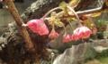 [花]ボタンザクラ