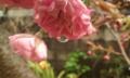 [花]ボタンザクラと雫