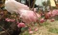 [花]ボタンザクラ1輪開花