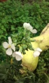 [花]ダイコン