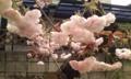 「花」ボタンザクラ