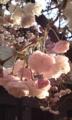 [花]ボタンザクラ5分咲き