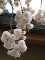 [花]逆光のボタンザクラを撮ってみる
