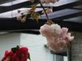 [花]ボタンザクラと椿