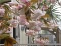 [花]ボタンザクラ満開