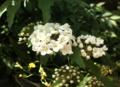 [花]コデマリ