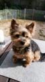 [うちの犬]スマホ撮影モデルはリン