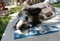 [うちの犬]庭で昼寝