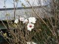 [花]サクラ狂い咲き?