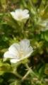 [花]ゲンノショウコ