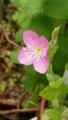 [花]ユウゲショウ別名(アカバナユウゲショウ)