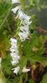 [花]ネジバナ(白花)