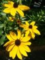 [花]ルドベキア'グロリオサデージー'