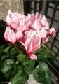 [花]シクラメン