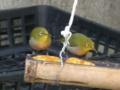 [鳥]メジロ