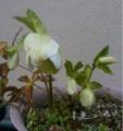 [花]クリスマスローズ