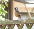[鳥]ジョウビタキ♂