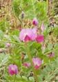 [花]カラスのエンドウ