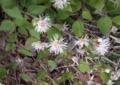[花]コウヤボウキ