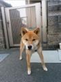 [犬]ごんちゃん