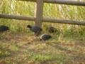 [鳥]オオバン