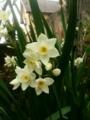 [植物]水仙