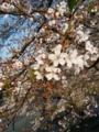 [植物]桜
