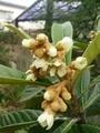 [植物]ビワ
