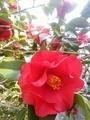 [植物]うちの椿