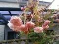 [桜]ボタンザクラ