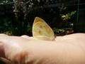 [昆虫]蝶
