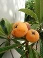 [果物]ビワ