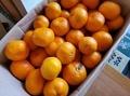 [果物]温州みかん