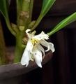 [花]シキビ