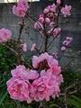 [花]ハナモモ
