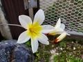 [花]スパラキシス(アヤメ科)