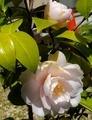 [花]ツバキ