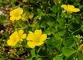 [花]オッタチカタバミ