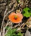 [花]ナガミヒナゲシ