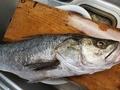 [魚]スズキ