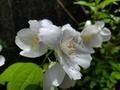 [花]バイカウツギ