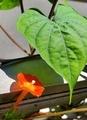 [花]マルバルコウ