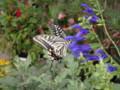 [butterfly][アゲハチョウ]
