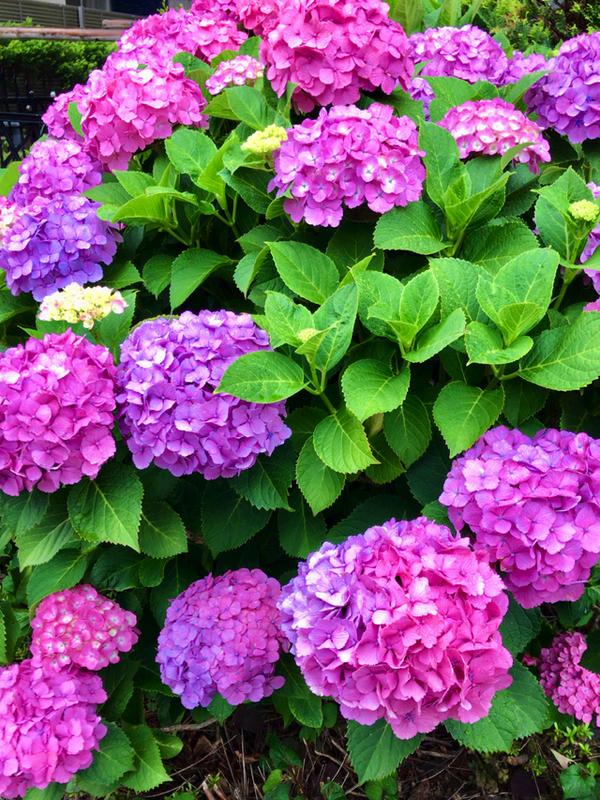 紫陽花が綺麗な季節になりました