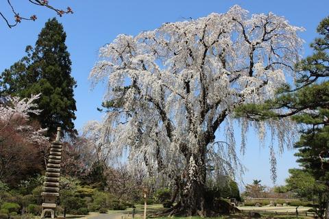 弘前さくらまつり・桜の競演