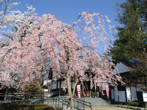 弘前さくらまつり・武徳殿前も桜が満開