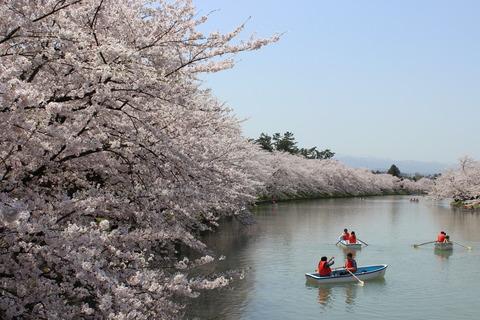 弘前さくらまつり・桜が満開