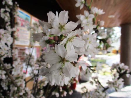 弘前さくらまつりは4月19日の開花予想