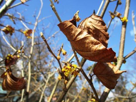 弘前公園のマルバマンサクが咲くと40日後にソメイヨシノが咲く